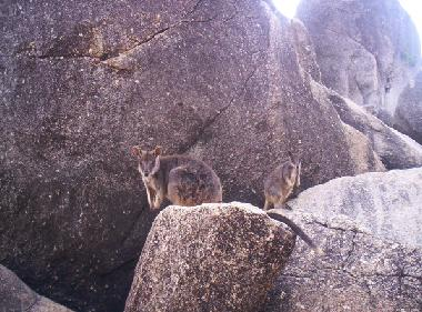 Surroundings: Feed the rock wallabies at Granite gorge