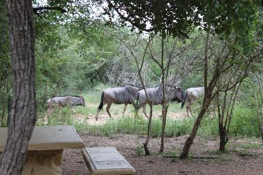Wildebeests in our garden
