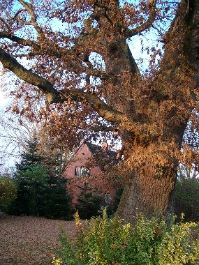 400 year old Oak