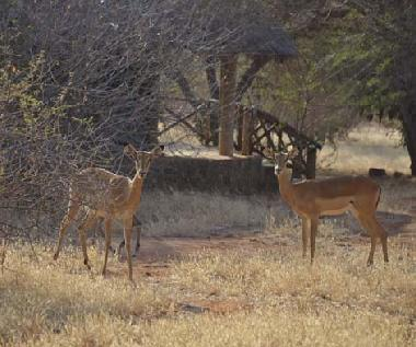 Impalas near one of the tents of Mashariki camp